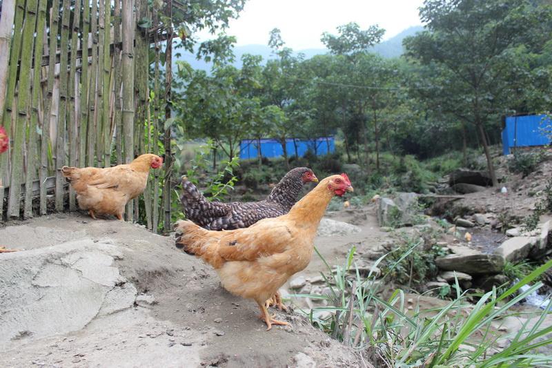 三黃雞1.jpg
