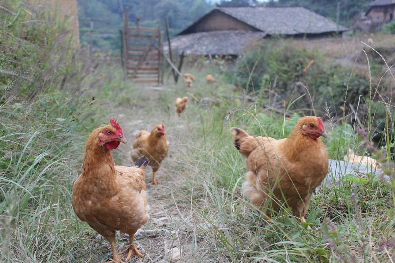 三黃雞4.jpg