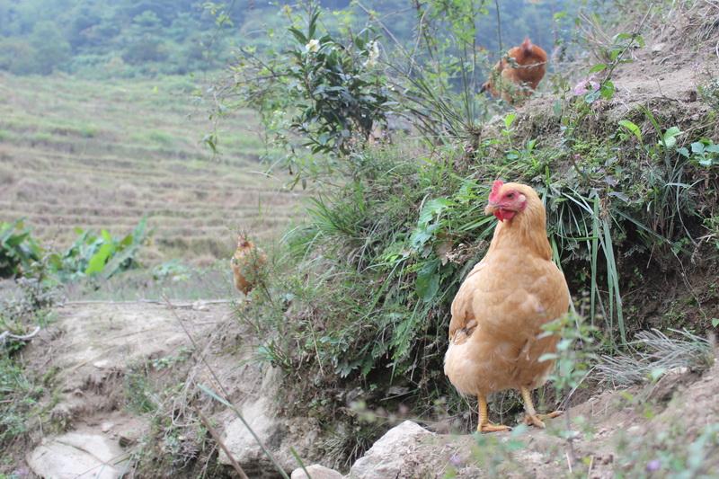 三黃雞7.jpg