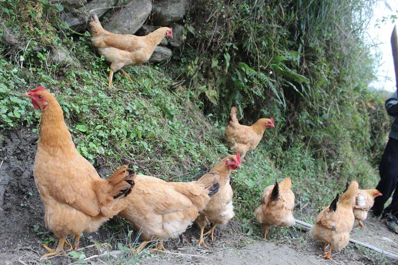 三黃雞5.jpg